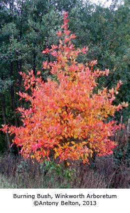 Burning Bush, Winkworth Arboretum © Antony Belton, 2013